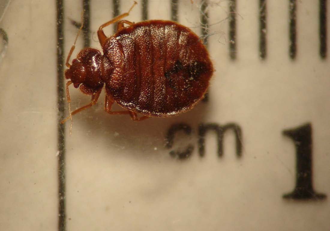 Bed Bugs: Recognition and Management | WSU Extension