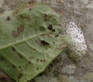 Figure 1. Egg mass and 1st instar satin moth larva on leaf (Photo by R.A. Rodstrom).