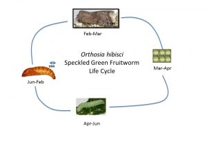 Figure 1. Life cycle of the speckled green fruitworm (Del Pozo-Valdivia 2011).