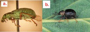 Figure 1. Polydrusus impressifrons adult weevil on the left (Photo by John C. Niedbala Jr.), and Otiorhynchus ovatus L. adult weevil on the right (Photo by R.A. Rodstrom).