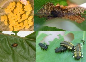 Figure 1. Clockwise from top left, eggs (1 mm each), first instar aggregated feeding that causes leaf to be skeletonized, second and third instars exuding salicylaldehyde as a defensive white liquid, and the adult cottonwood leaf beetle (6 mm) on a leaf (Photos by J. Brown).